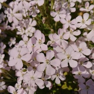 お花の種 白のシレネ(その他)