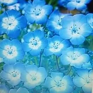 花の種     ネモフィラ200粒+おまけ付き(その他)