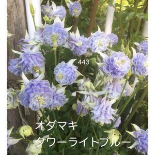 西洋オダマキ 花の種 タワーライトブルー 25粒(その他)