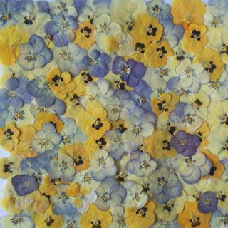 ビオラ 押し花 (ドライフラワー)