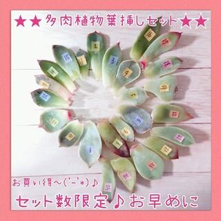 お買い得~★多肉植物葉挿しセット(その他)