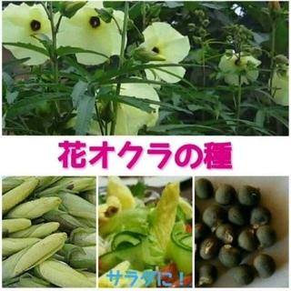 花オクラの種 10粒 (トロロアオイ)+育て方付!(野菜)
