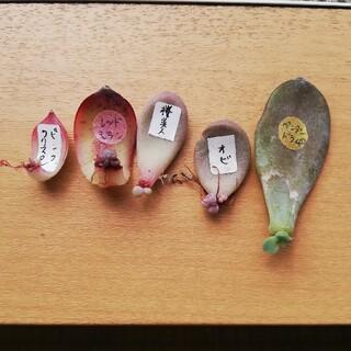 お得★葉挿しセット エケベリア 多肉植物(その他)