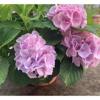 フリルたっぷり ふんわりピンク紫陽花 「シンデレラの初恋♡」参考画像(ドライフラワー)
