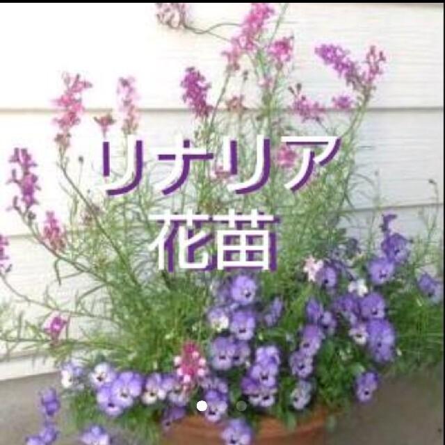リナリア 花苗  10株 ハンドメイドのフラワー/ガーデン(その他)の商品写真