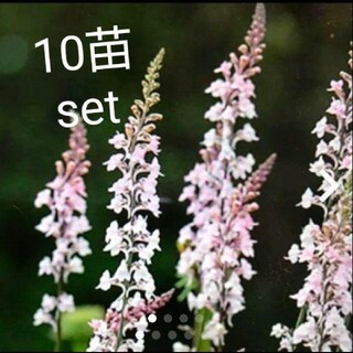 リナリア 花苗  10株(その他)