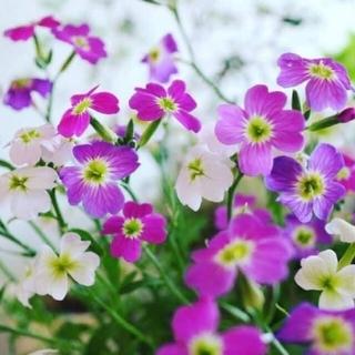 花種バージニアンストック(その他)