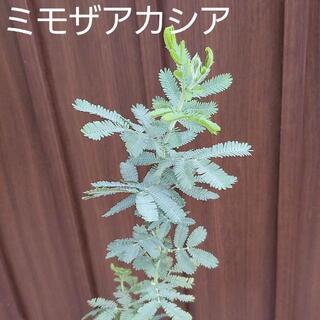 大きく成長中♪ ミモザアカシア (ギンヨウアカシア) ポット苗108 観葉植物(プランター)