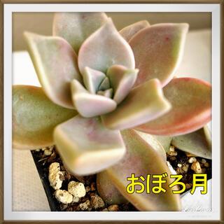 【多肉植物 】おぼろ月 きれいな色 葉押しの子あり♪抜き苗(その他)