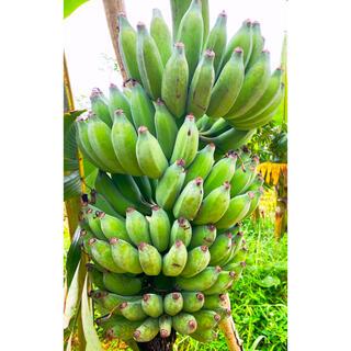 無農薬・無肥料!最高級品!石垣島産「石垣島バナナ」2kgまとめ売り(フルーツ)