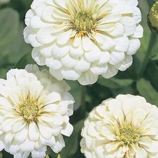 百日草 ジニア 黄色 白 ピンク 去年取れた種 混合 ダリア咲き 30粒(その他)
