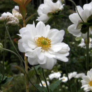 八重咲きシュウメイギク 種 20粒(その他)