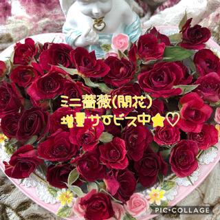 増量サービス中!ミニ薔薇(開花)ドライフラワー★20輪セット+おまけ5輪付き!!(その他)