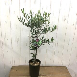 現品 オリーブの木 SOUJU ピクアル  4号 r4A(プランター)