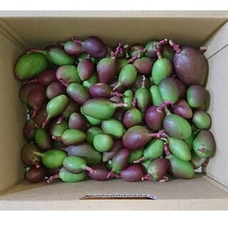 宮崎産 未成熟マンゴー 箱込み2kg(フルーツ)