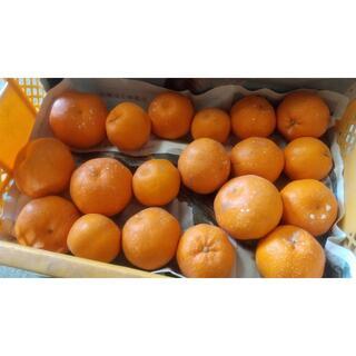 【農家直送】はるみみかん サイズ混合 約4.5キロ 送料込み ②(フルーツ)