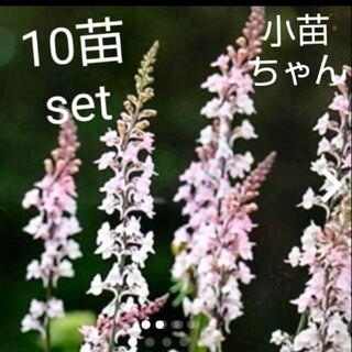 リナリア 10苗set(その他)