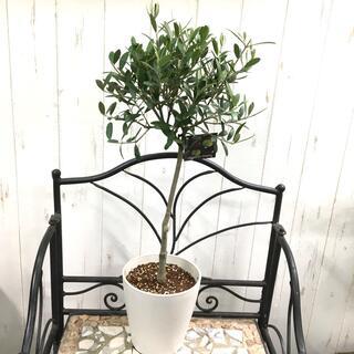 オリーブの木 SOUJU ネバディロブランコ 5号 セラアート鉢  11(プランター)