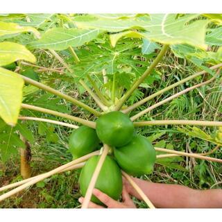 超健康野菜でアンチエイジングに!沖縄産島野菜 青パパイヤ 2kg(フルーツ)
