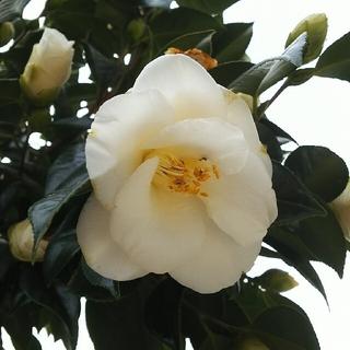 大輪 白椿の挿し穂 約15㎝ 3本(その他)