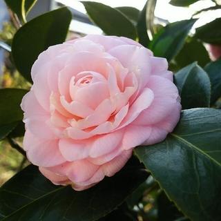 ピンク八重咲き椿の挿し穂 約15㎝ 3本(その他)