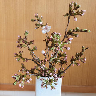 RED様専用 ソメイヨシノ ピンクの蕾付き 桜の枝②(その他)