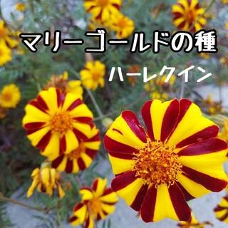 マリーゴールド 種 約200粒 ハーレクイン(その他)