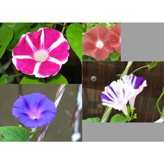 朝顔の種/アサガオのタネ ★パープル/ピンク/ホワイト/他 4~6種類(その他)