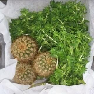 多肉植物 子サボテン+セダム(プランター)