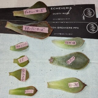 多肉植物 葉挿し9枚(その他)