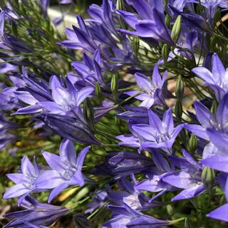 ブルーが涼しげな花 トリテレイア 球根大中小20個(その他)