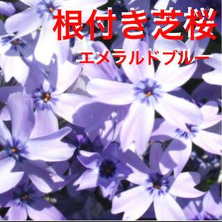 咲き始めた❣️根付き苗☆芝桜☆エメラルドブルー☆初心者向け☆(プランター)