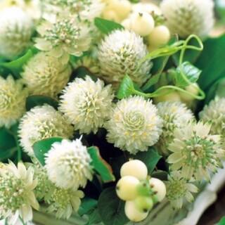 花種千日紅高性オードリーホワイト(その他)
