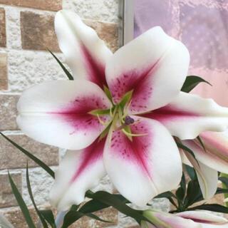 大輪百合の花の種(その他)
