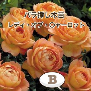 バラ挿し木苗(レディ・オブ・〇ャーロット)B(その他)