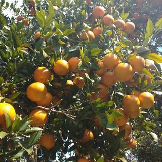 ミモザ様専用 みかんの王様高級タンカン 自然栽培 農薬不使用 激レア果物 特産物(フルーツ)