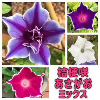桔梗咲朝顔の種ミックス10個 あさがおのタネ(その他)