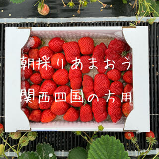 関西四国の方向け 朝採りいちご あまおう 二級品(フルーツ)