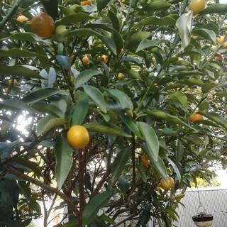 自宅栽培キンカン 40個〜50個(フルーツ)