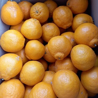 熊本県産不知火(デコポン) 家庭用 箱込み10kg(フルーツ)