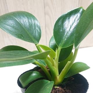 フィロデンドロン  12cmくらい  観葉植物 苗 鉢植え 苔玉(その他)