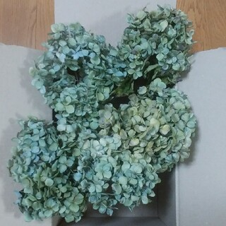 【KEI様確認用】アジサイドライフラワー 緑青~黄緑青系 茎有 5(ドライフラワー)