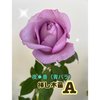 バラ挿し木苗(夜⚫香)青バラ A(その他)