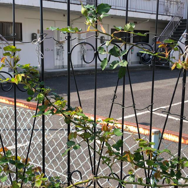 バラ苗ゴールドバニー ハンドメイドのフラワー/ガーデン(プランター)の商品写真
