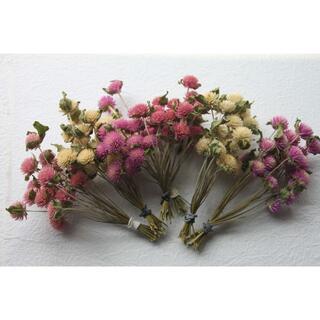 千日紅ピンク&白色★5色120本 短い枝付き/茎付き(ドライフラワー)