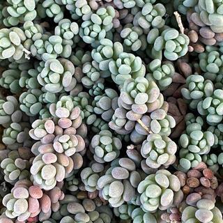 多肉植物 セダム パープルヘイズ カット(その他)