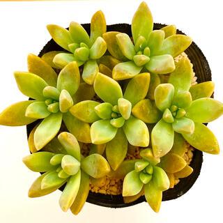 秋麗 多肉植物 カット苗7コ(その他)