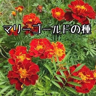 マリーゴールド 種 約300粒 オレンジ色(その他)