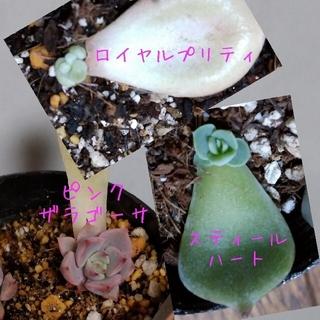 多肉植物 韓国苗 葉挿し(その他)