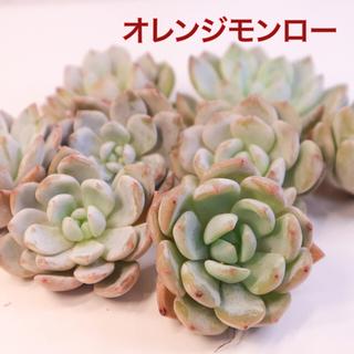 多肉植物 韓国苗 オレンジモンロー(その他)